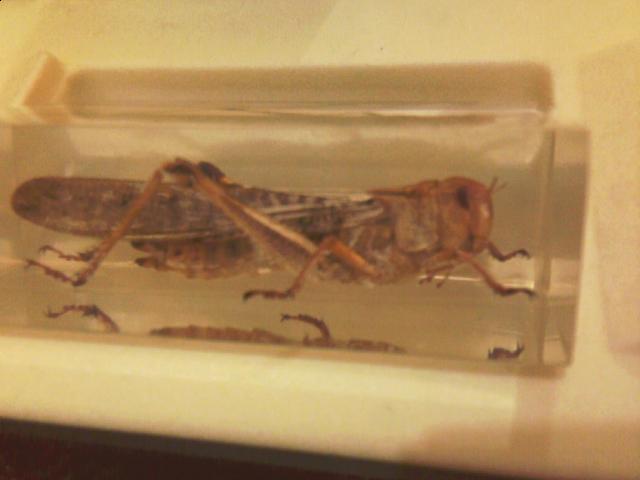 Насекомые и их знакомые саранча перелётная