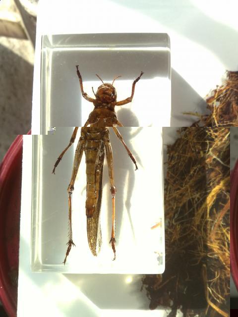 саранча перелётная и насекомые их знакомые