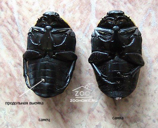 Насекомые №81 - Жук-Бронзовка Пахнода (Pachnoda sp.)