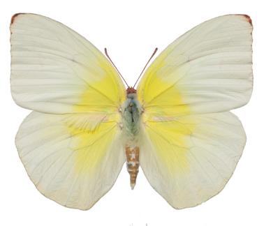 Бабочки №96 - Катопсилия помона (Catopsilia pomona)