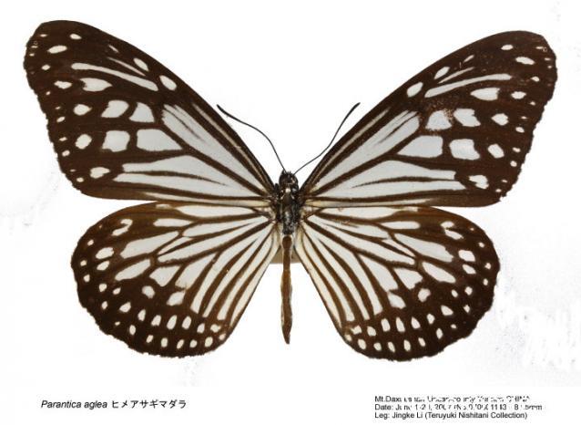 Бабочки №91 - Бабочка-Данаида (parantica aglea)
