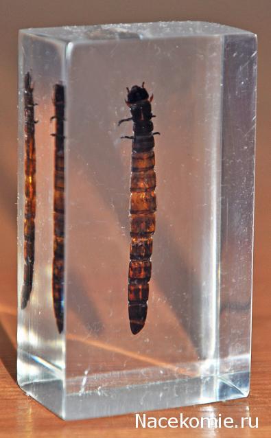 Насекомые №78 - Чернотелка зофобас (личинка) (Zophobas)