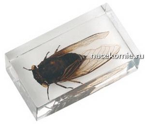 Выпуск №22 Тропическая черная цикада Польская серия Насекомые и их знакомые