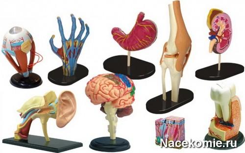 Анатомические модели основных органов