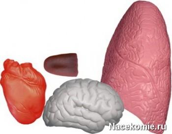 Мягкие на ощупь макеты органов