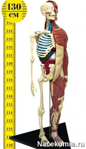 Анатомическая модель (скелет) из коллекции